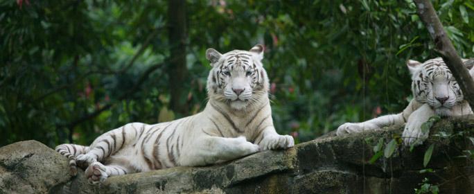 Eine Lanze für einen Tiger