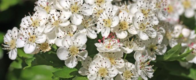 Weißdorn - die Pflanze des Sommers, des Alters und des Herzens